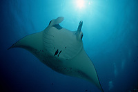 reef manta ray, Manta alfredi, Malediven, Maldives Islands