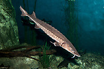 Lake sturgeon in downward position facing right