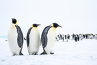 Snow Hill Island, Antarctica. Three Emperor Penguins close-up with colony in the distance.