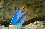 Twin Blue Ribbon Eels, Anilao
