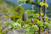 Balsam Fir (Abies balsamea) along a hiking trail in the White Mountains,  New Hampshire USA