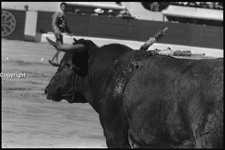 11 Mai 1969. Vue du taureau lors de la corrida de Miguelin dans les arènes de Toulouse.