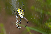 Zebraspinne, Wespenspinne, Argiope bruennichi, Spinne in ihrem Nest mit zickzack-förmigen Stabiliment, black-and-yellow argiope, black-and-yellow garden spider
