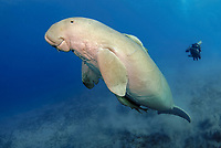 Dugong, Sea Cow, swimming to the surface to breathe, Egypt, Red Sea, Indian Ocean