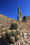 giant barrel cactus and cardon on Isla Santa Catalina