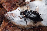 Schwarzer Totengräber, Aaskäfer, an toter Maus, an Aas, Necrophorus humator, Nicrophorus humator, sexton burying beetle, black burying beetle, Black Sexton Beetle, Silphidae, large carrion beetles, carrion beetles, burying beetles
