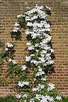 Clematis 'Tsuziki', white flowered climbing perennial vine trellised against a brick wall