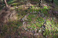 Hexenring, Feenring aus Trichterling, Trichterlinge, Hexenringe, Feenringe, Clitocybe spec., Clitocyboid Mushroom, fairy ring, fairy circle, elf circle, elf ring, pixie ring