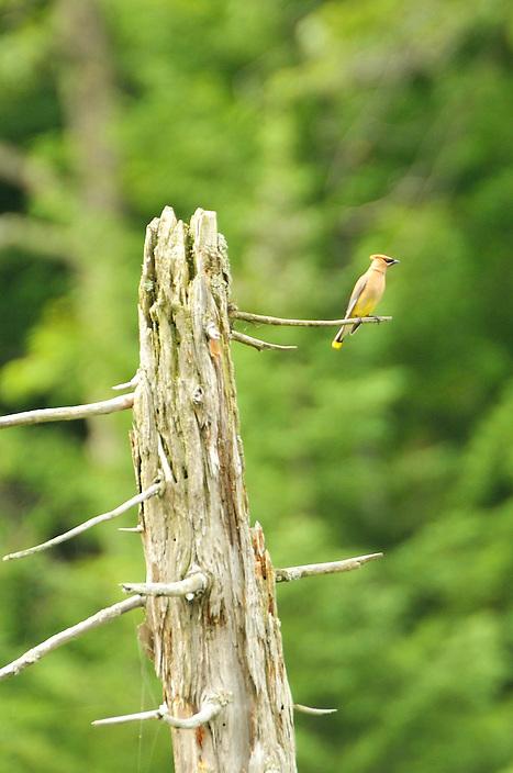 One of my personal favorite species of birds, the Cedar Waxwing.