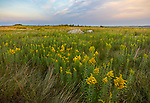 Blue Mound State Park, Minnesota: Field of goldenrod (Solidago speciosa) at sunset