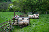 Farmer preparing sheep for shearing,  Ewyas Valley, Wales