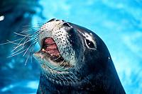 Hawaiian monk seal, Neomonachus schauinslandi, endangered and endemic, Hawaii, USA, Pacific Ocean
