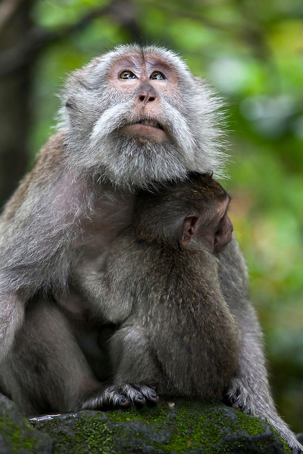 A macaque monkey holds onto her infant in the Sacred Monkey Forest in Ubud on the island of Bali in Indonesia.