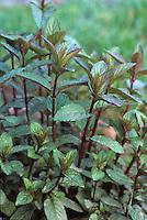 Purple stem mint fragrant edible herb Mentha x piperita - Peppermint