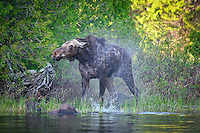 """""""Moose """"The Shake""""<br /> <br /> While on an early morning paddle  in the Boundary Waters Canoe Area Wilderness (BWCAW), I photographed this moose doing the shake. I didn't know moose shook like dogs until I witnessed this."""