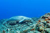 endemic bandit angelfish, Apolemichthys arcuatus, swims past a male Hawaiian monk seal, Neomonachus schauinslandi ( critically endangered endemic species ), Lehua Rock, Niihau, Hawaii, USA, Pacific Ocean