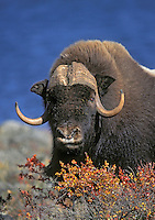 MUSKOX on arctic tundra.<br /> Northwest Territories, Canada.<br /> Autumn. Ovibos moschatus.