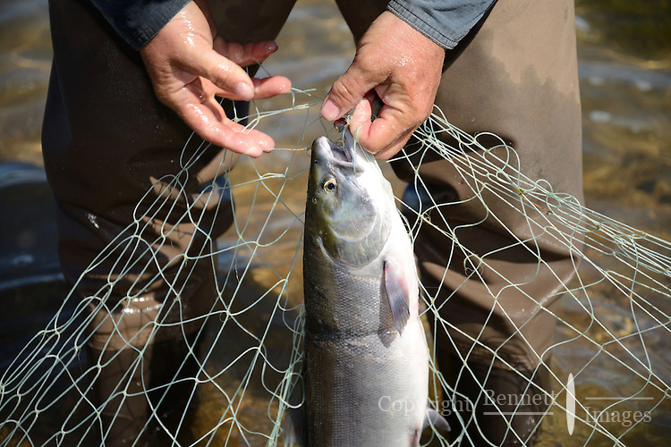 Michael J. Borleske pulls red (sockeye) salmon (Oncorhynchus nerka) from a net at a fish camp on Six Mile Lake near Nondalton, Alaska, adjacent to Lake Clark National Park and Preserve, where the traditional subsistence ways of catching and preserving salmon as they return from the sea in mid July are still practiced today.  NOT FOR USE BY THE MINING INDUSTRY. MR