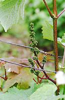 Grape buds. Chenin Blanc. Domaine Clos de l'Epinay, Vouvray, Loire, France