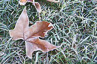 A brown maple leaf with frost on grass that is also frosty an early cold autumn morning. Ferme de Biorne duck and fowl farm Dordogne France