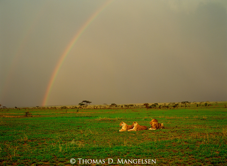 Three lions rest on the savannah with a double rainbow stretching across the sky.