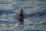 Steller sea lion, Glacier Bay National Park and Preserve, Alaska