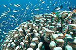 Bligh Waters, Vatu I Ra Passage, Fiji; a large school of Ternate Chromis fish swimming above Acropora stony corals, while Red and Black Anemonefish swim over their anemone nestled amongst the coral