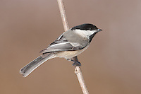 Black-capped Chickadee (Poecile atricapillus) perching on a tree limb