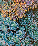 Hens and Chicks, Echeveria elegans, Fern Canyon, Mill Valley, California