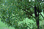 The camphor tree is an evergreen tree, from which medicine and moth balls were produced.