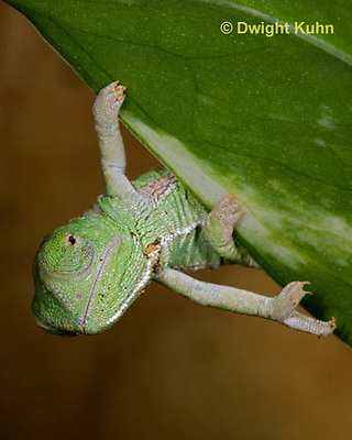 CH46-528z  Veiled Chameleon just hatched young, Chamaeleo calyptratus