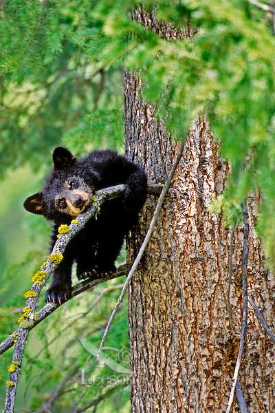 Black Bear cub resting in tree.  Western U.S.
