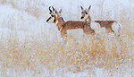 USA, Wyoming, Yellowstone National Park, pronghorn (Antilocapra americana)