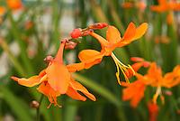 Crocosmia 'Star of the East' in orange flowers