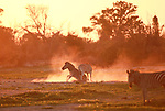 BATTLE FROM DUST TO DAWN.  A pair of zebras play fight during a spectacular sunrise.  One zebra leapt onto its hind legs as it spars with its playmate and the tussling pair kicked up dust in the glow of the rising sun.<br /> <br /> Photographer Torie Hilley pictured the zebras in the Okavango Delta, Botswana, in the early hours of the morning.  SEE OUR COPY FOR DETAILS.<br /> <br /> Please byline: Torie Hilley/Solent News<br /> <br /> © Torie Hilley/Solent News & Photo Agency<br /> UK +44 (0) 2380 458800