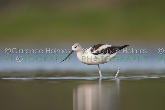 American Avocet (Recurvirostra americana) searching for food, East Pond, Jamaica Bay Wildlife Refuge