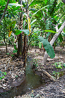 Tanzania.  Mto wa Mbu. Banana Plantation.  Flow of Irrigation Water is Carefully Regulated among Neighboring Plots.