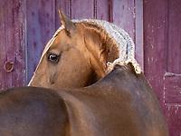 Lusitano stallion Biscoito