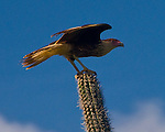 Bonaire, Netherland Antilles -- The Warawara (also called the Crested Caracara) is a large eagle that is found throughout the southern Caribbean.  Despite its imposing raptor appearance, the bird is primarily a scavenger.