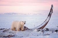 polar bear, Ursus maritimus, with the jawbone of bowhead whale, Balaena mysticetus, 1002 area of the Arctic National Wildlife Refuge, Alaska, polar bear, Ursus maritimus