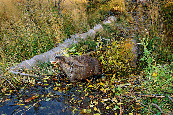 American Beaver (Castor canadensis) hauling limb back to winter food cache. Fall. Western US.