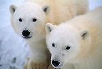 A portrait of two polar bear cubs.