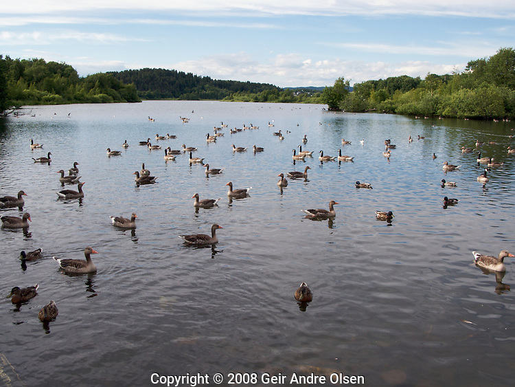Lots of birds on the lake Ostensjovann, a nature reservation in the middle of Oslo, Norway