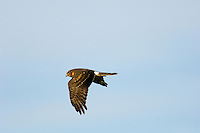 Northern Harrier (Circus cyaneus)
