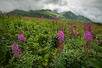 Fireweed and other wildflowers bloom in Hatcher's Pass, Alaska.