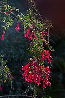 Cantua buxifolia 'Hot Pants' (Hot Pants Magic Flower) at Leaning Pine Arboretum