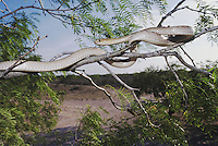 Western Coachwhip (Masticophis flagellum testaceus), adult in mesquite tree, Rio Grande Valley, Texas, USA