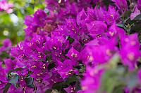 Kahle Drillingsblume, Bougainvillee, Bougainvillie, Bougainville, Drillingsblume, Kletterpflanze an Fassade, Fassadenbegrünung, Bougainvillea glabra, lesser bougainvillea, paperflower