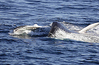 Lunge feeding Fin whale Balaenoptera physalus showing open mouth and baleen plates. Spitzbergen, Arctic Norway, Barents sea