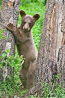 Cinnamon Black Bear cub standing against a tree and watching intently